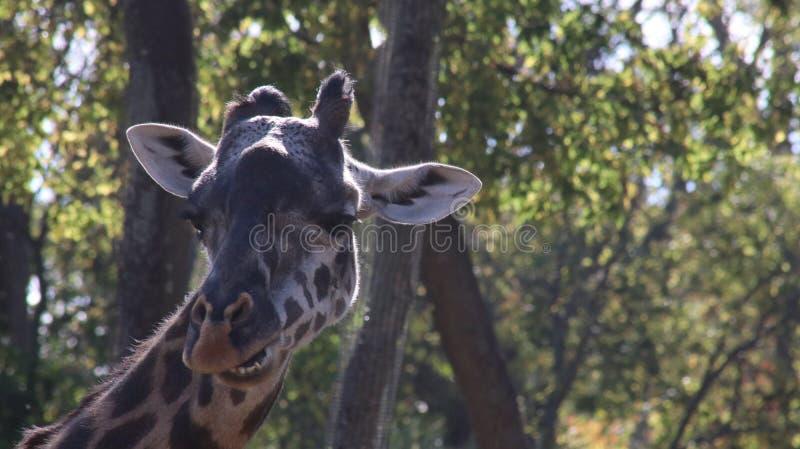 Speak Up. Big Giraffe striking a pose at the Nashville Zoo stock photography
