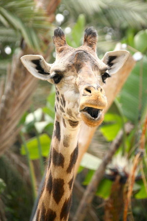 Speaking Giraffe stock photography
