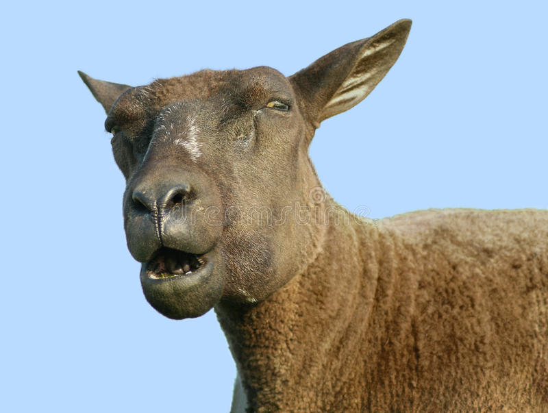 Download Speaking sheep stock image. Image of head, speaking, face - 37646301