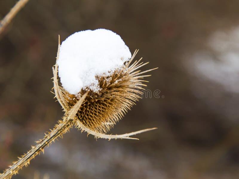Spear distel met sneeuw in de winter wordt behandeld die stock foto