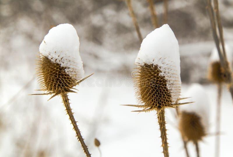 Spear distel met sneeuw in de winter wordt behandeld die stock fotografie