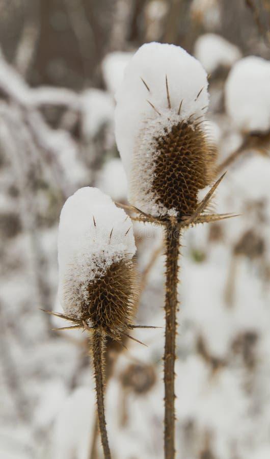 Spear distel met sneeuw in de winter wordt behandeld die royalty-vrije stock afbeeldingen