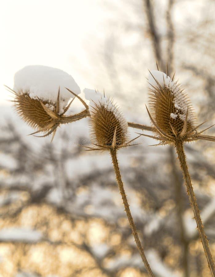Spear distel met sneeuw in de winter wordt behandeld die stock foto's