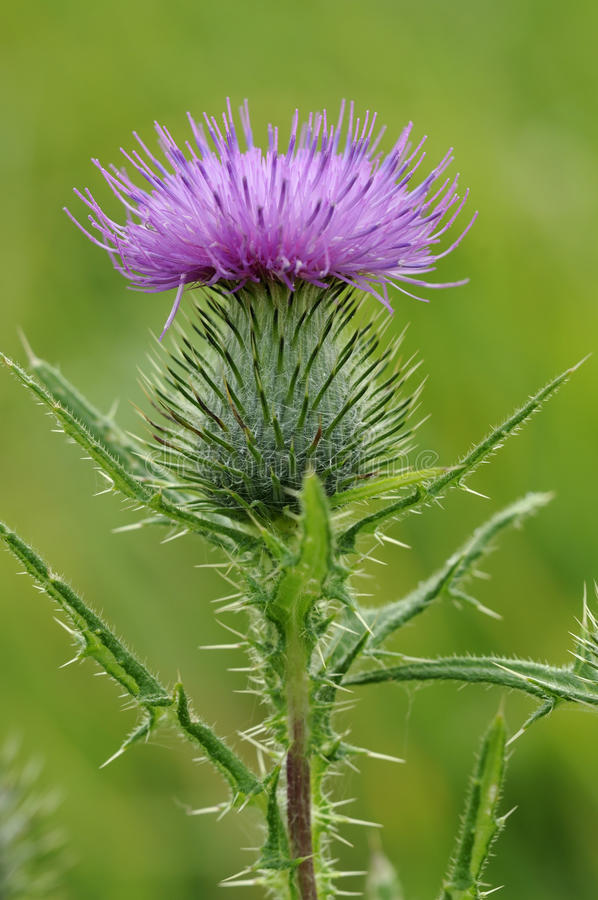 Free Spear Thistle Stock Image - 44663771