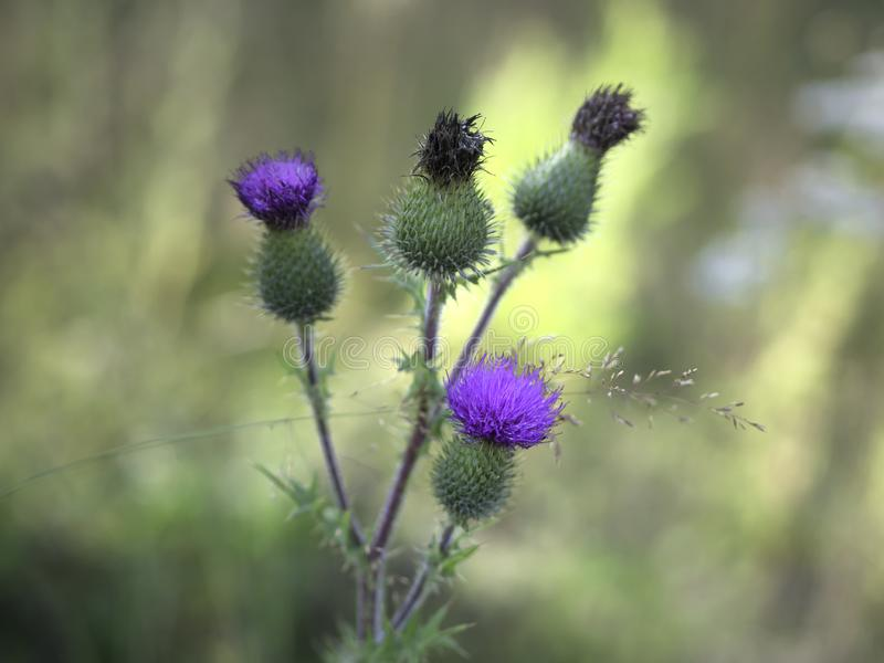 Spear thistle - Cirsium vulgare royalty free stock photo