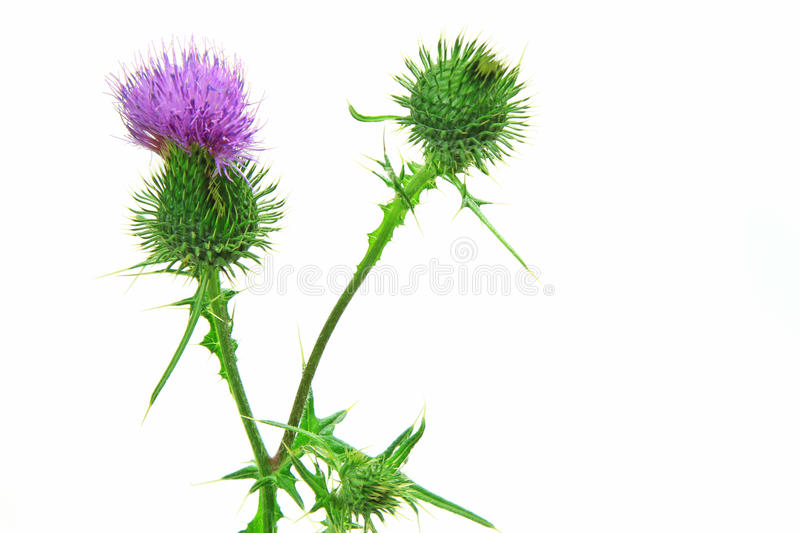 Spear thistle or common thistle Cirsium vulgare. Spear thistle, bull thistle or common thistle Cirsium vulgare flower isolated against white background stock image