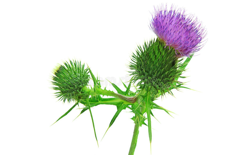 Spear thistle or common thistle Cirsium vulgare. Spear thistle, bull thistle or common thistle Cirsium vulgare flower isolated against white background royalty free stock photo