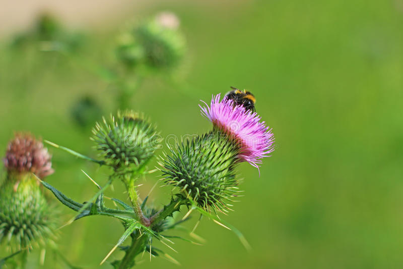 Spear thistle or common thistle Cirsium vulgare. Spear thistle, bull thistle or common thistle Cirsium vulgare flowering plant in a meadow royalty free stock photography