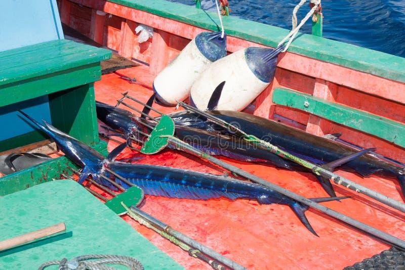 spearfish στοκ εικόνες