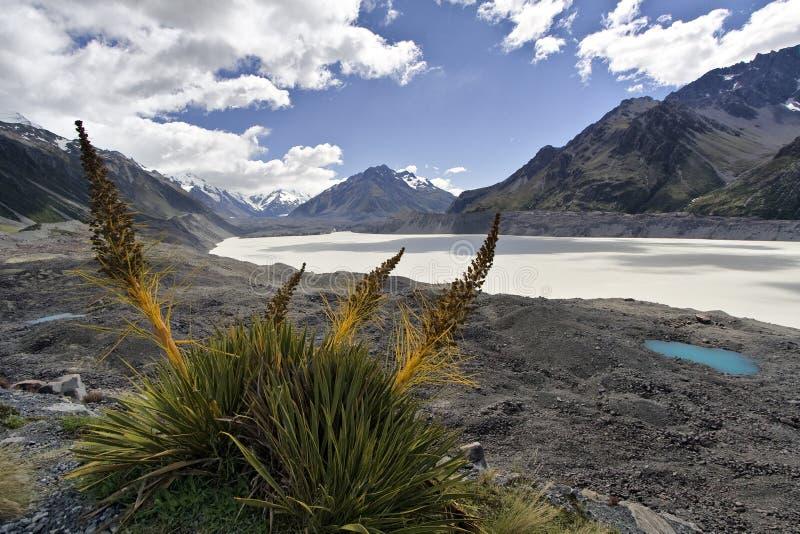 Speargrass op Gletsjer Tasman stock foto's