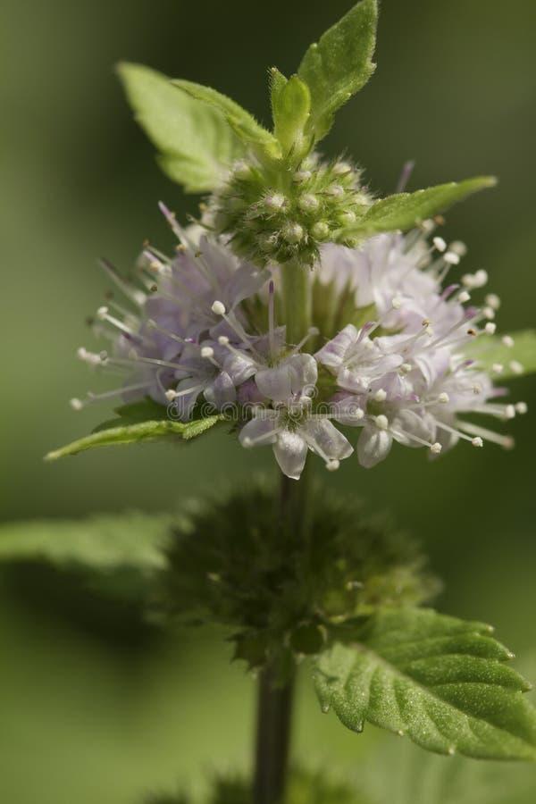 Spearmint цветка (pulegium Mentha) стоковое изображение rf