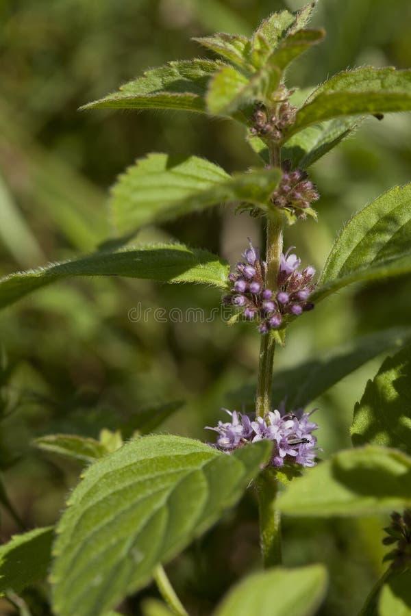Spearmint Stock Photo Image Of Leaf Purple Stem Macro