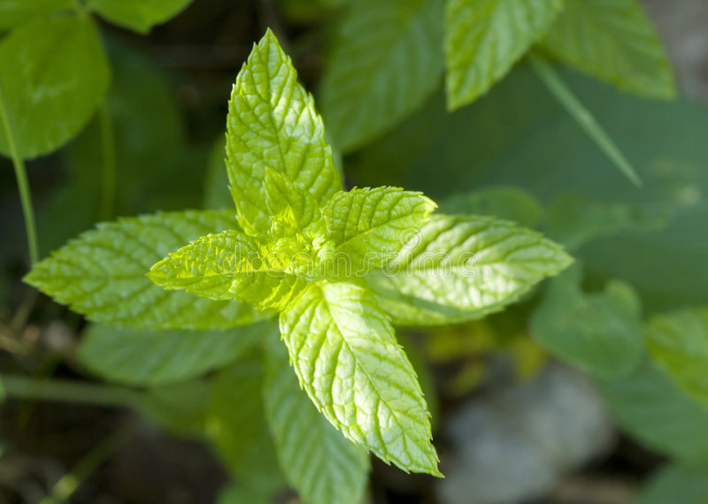 Spearmint Leaves royalty free stock photography