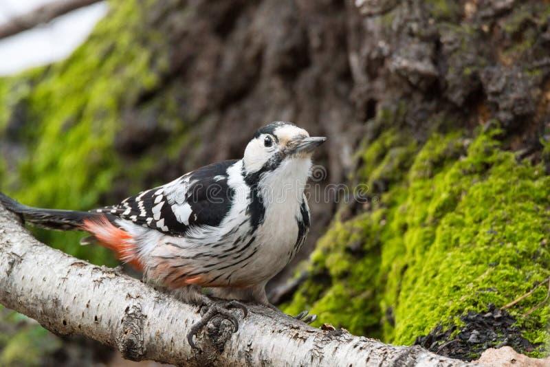 Specht auf einem Baum stockfotos