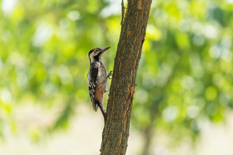 Specht, der auf Stamm des Baums am Sommer sitzt lizenzfreie stockfotos