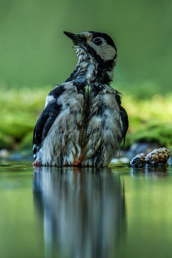 Specht, der Bad im Waldteich mit klarem bokeh Hintergrund und gesättigte Farben, Deutschland, Vogel im Wasser, Spiegelreflexion h stockbild