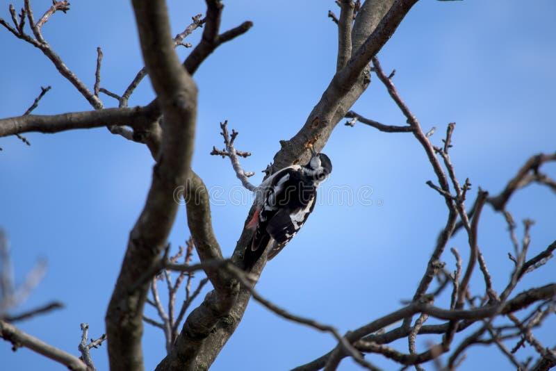 Specht, der eine Walnussbaumlarve isst lizenzfreies stockbild