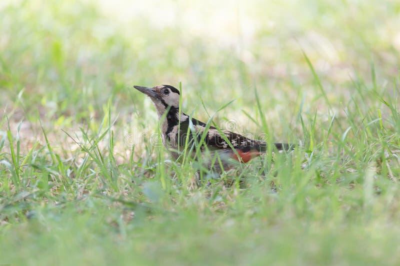 Specht, der im grünen Gras sitzt stockbilder