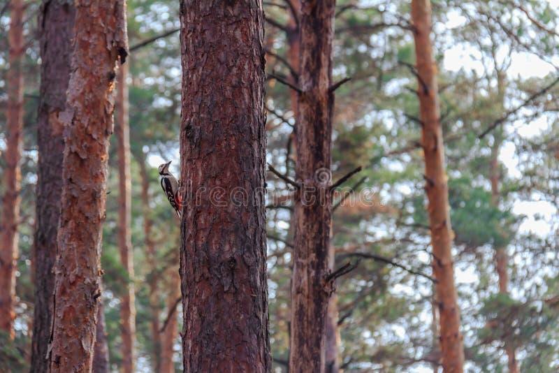 Specht, der Kiefernwald bewohnt stockfotos