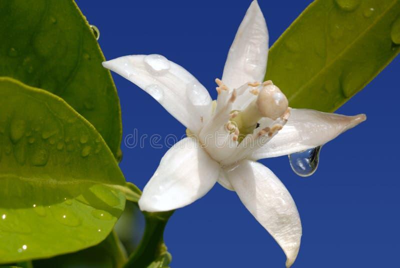 Special alaranjado da flor no azul foto de stock royalty free