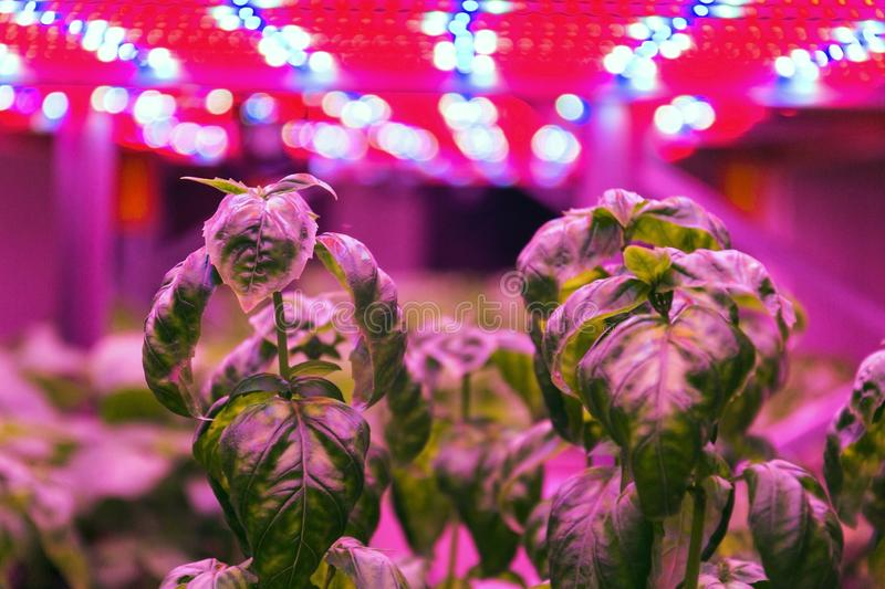 Special LED lights belts above basil herb in aquaponics system combining fish aquaculture with hydroponics royalty free stock photo