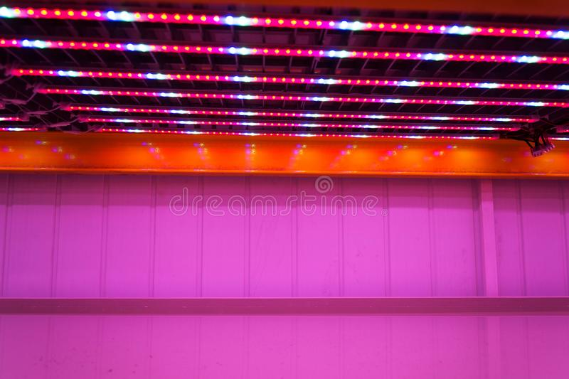 Special red white and blue LED lights belts above empty shelves in aquaponics system combining fish aquaculture with hydroponics. Cultivating plants in water royalty free stock image