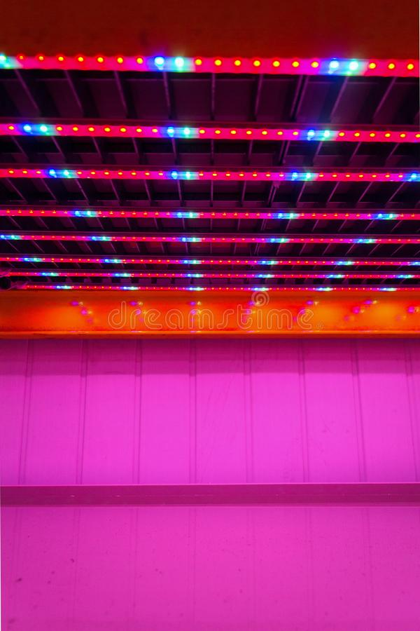 Special red white and blue LED lights belts above empty shelves in aquaponics system combining fish aquaculture with hydroponics. Cultivating plants in water stock images