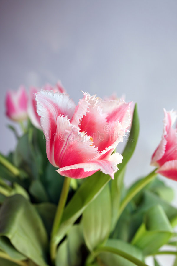 Special tulips royalty free stock image