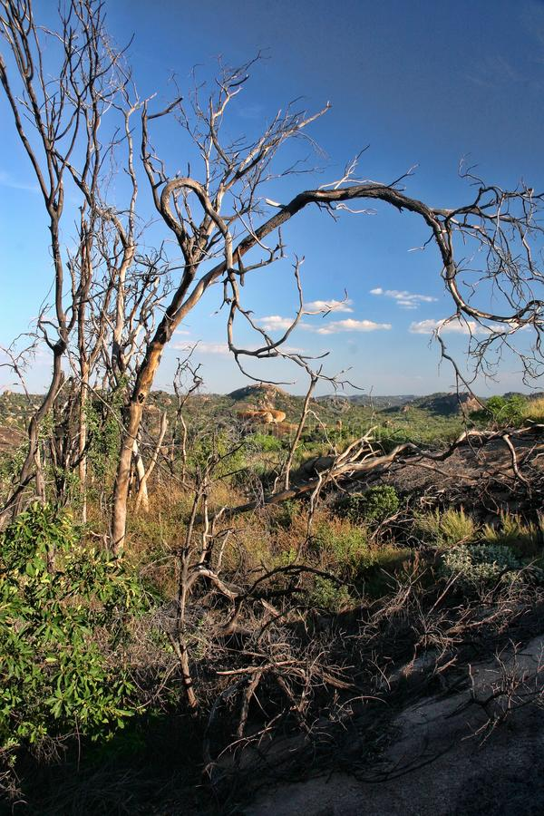 Very special vegetation on the rocks of the Matopos National Park, Zimbabwe stock photos