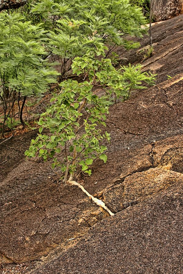 Very special vegetation on the rocks of the Matopos National Park, Zimbabwe stock photography