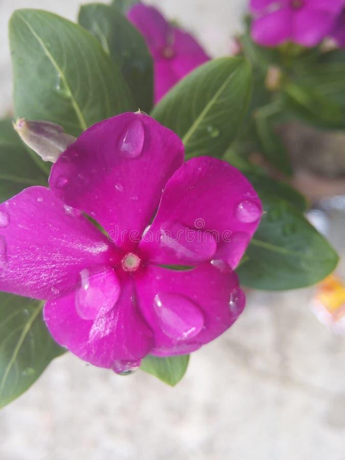 speciale dauw op roze bloemen stock foto's