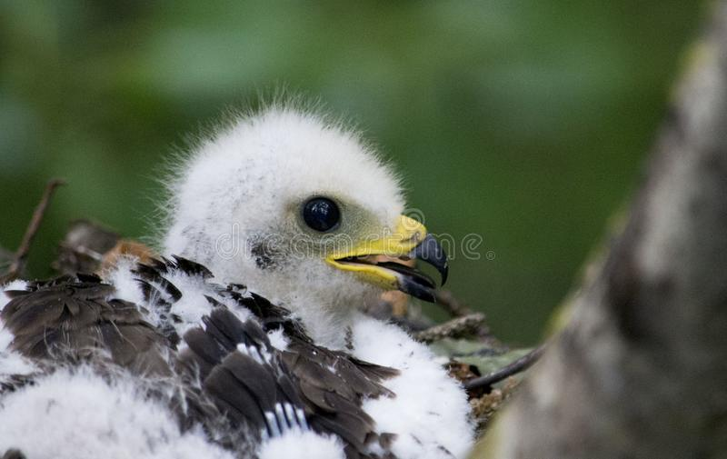 Honey Buzzard- Pernis apivorus chick in the nest. royalty free stock photos