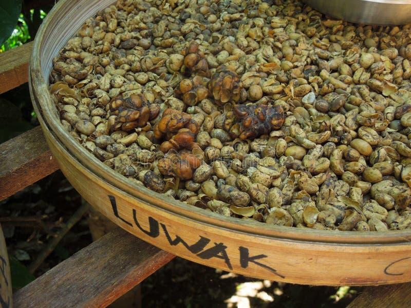 Specialità di Bali, caffè con i fagioli delle feci del luwak di kopi dello zibetto immagini stock libere da diritti