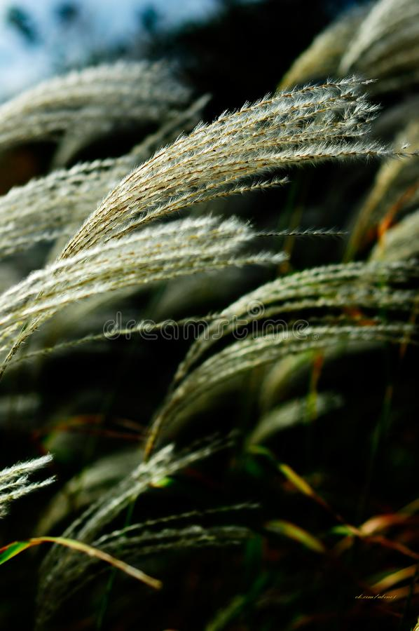 Specially grown outdoor pampas grass royalty free stock images
