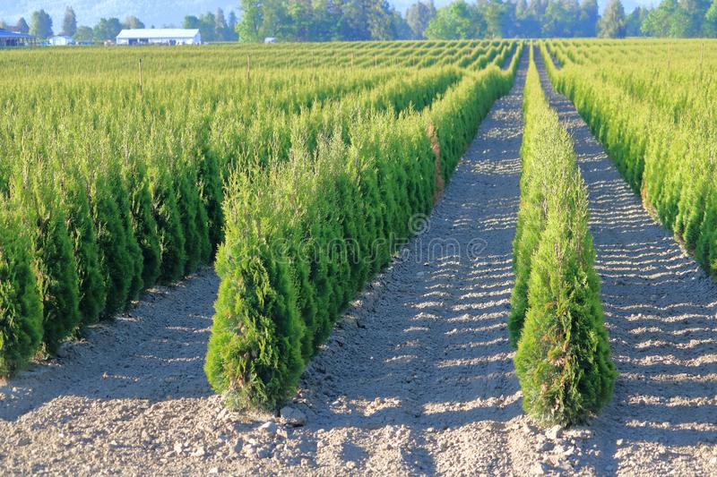 Specialty Farm Crops for Commercial Sale. Specialty Crops and a successful farm growing cedar trees for commercial retail sale royalty free stock photos