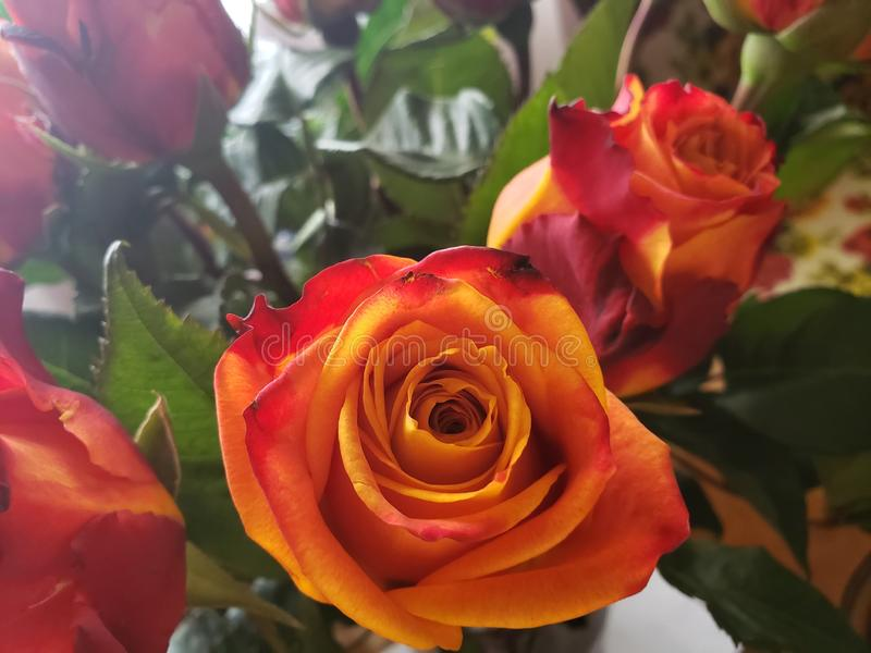 Specialty Roses. Uniquely colored cut specialty roses Beautiful Sunrise Fire bi-colored furled petals royalty free stock image