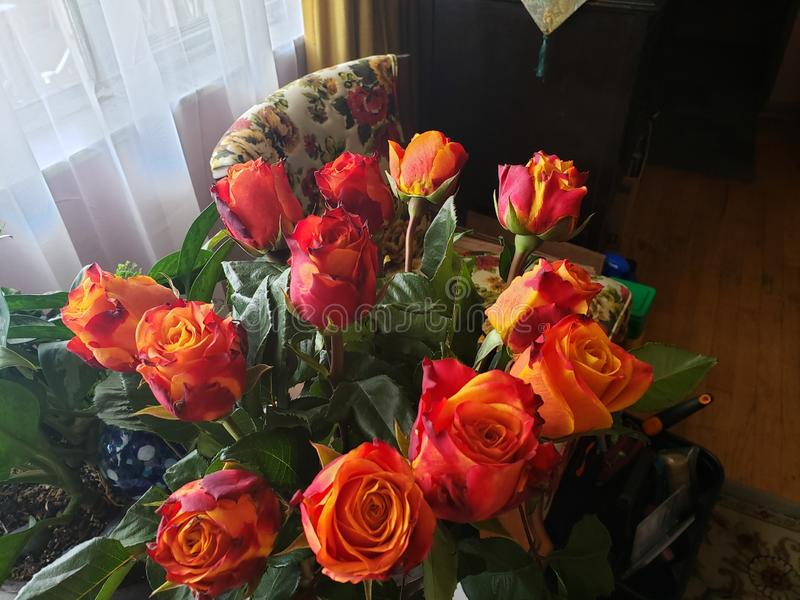 Specialty Roses. Uniquely colored cut specialty roses Beautiful Sunrise Fire bi-colored furled petals royalty free stock photography