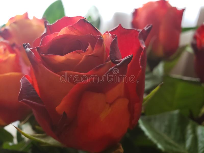 Specialty Roses. Uniquely colored cut specialty roses Beautiful Sunrise Fire bi-colored furled petals stock image