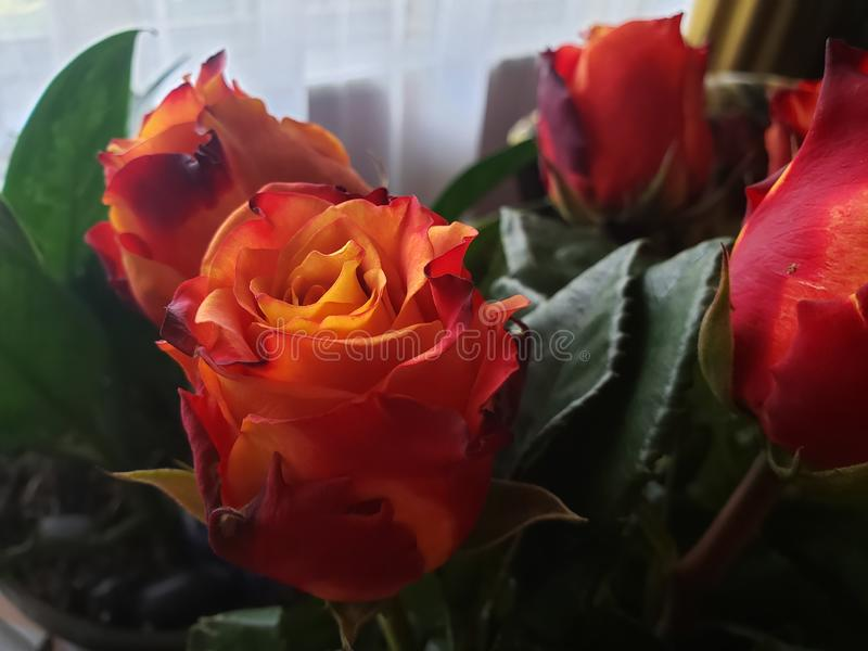 Specialty Roses. Uniquely colored cut specialty roses Beautiful Sunrise Fire bi-colored furled petals stock photos