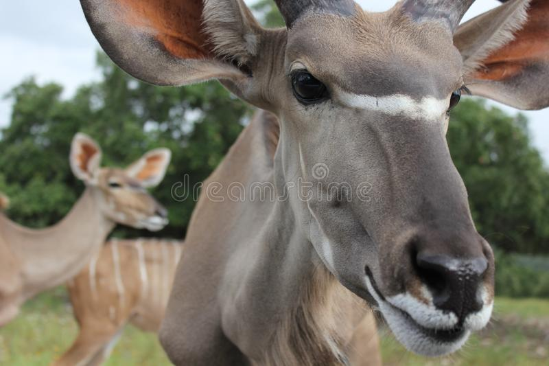 Specie africane dei cervi immagine stock libera da diritti