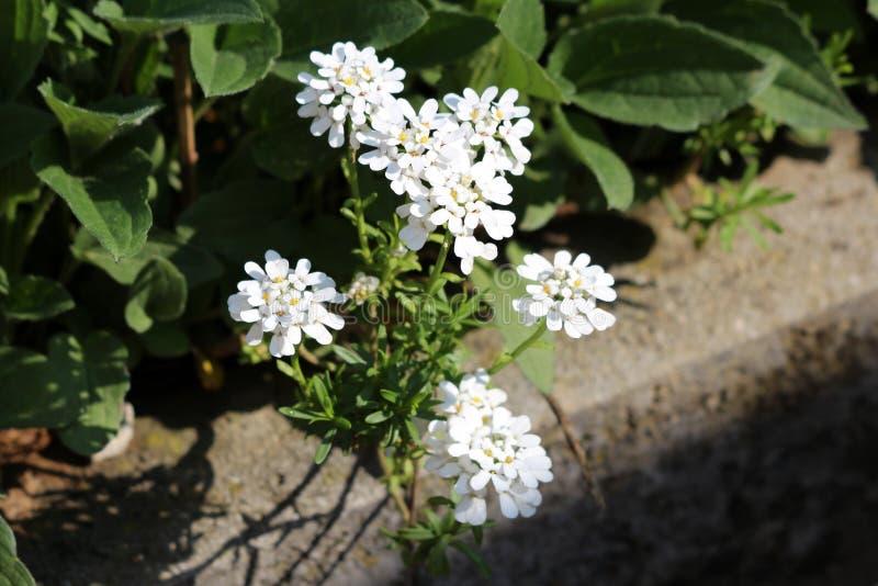 Specie candytuft o dei sempervirens sempreverdi del Iberis di pianta di fioritura con i fiori bianchi puri fragranti nella cresci fotografia stock libera da diritti