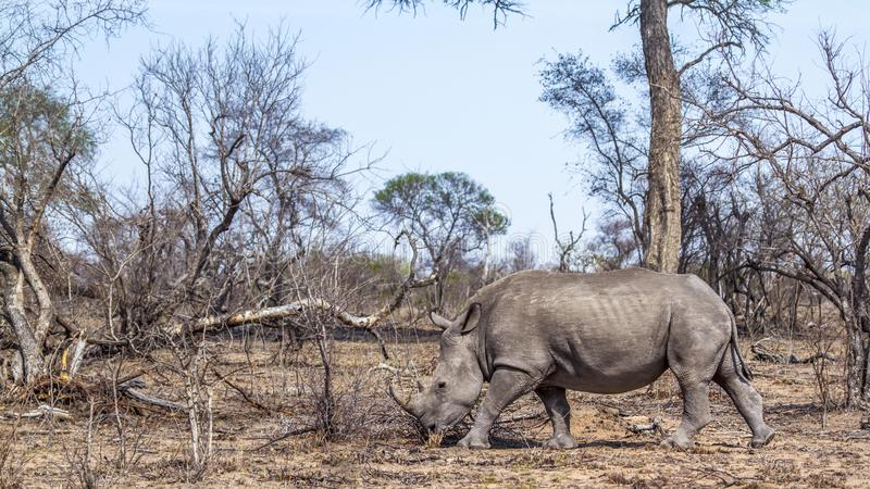 Southern white rhinoceros in Kruger National park, South Africa. Specie Ceratotherium simum simum family of Rhinocerotidae royalty free stock photo