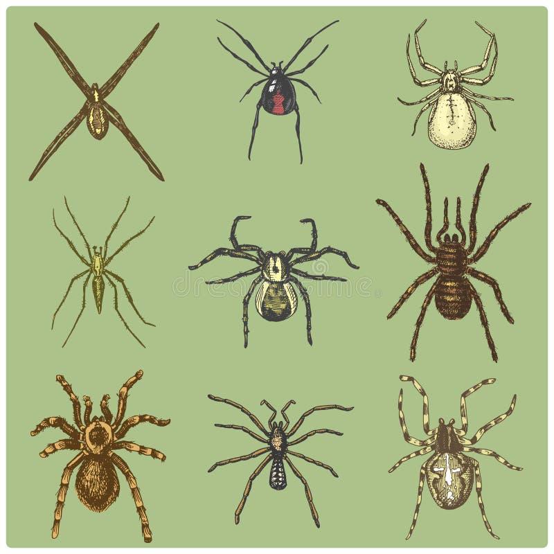 Specie dell'aracnide o del ragno, la maggior parte dei insetti pericolosi nel mondo illustrazione di stock
