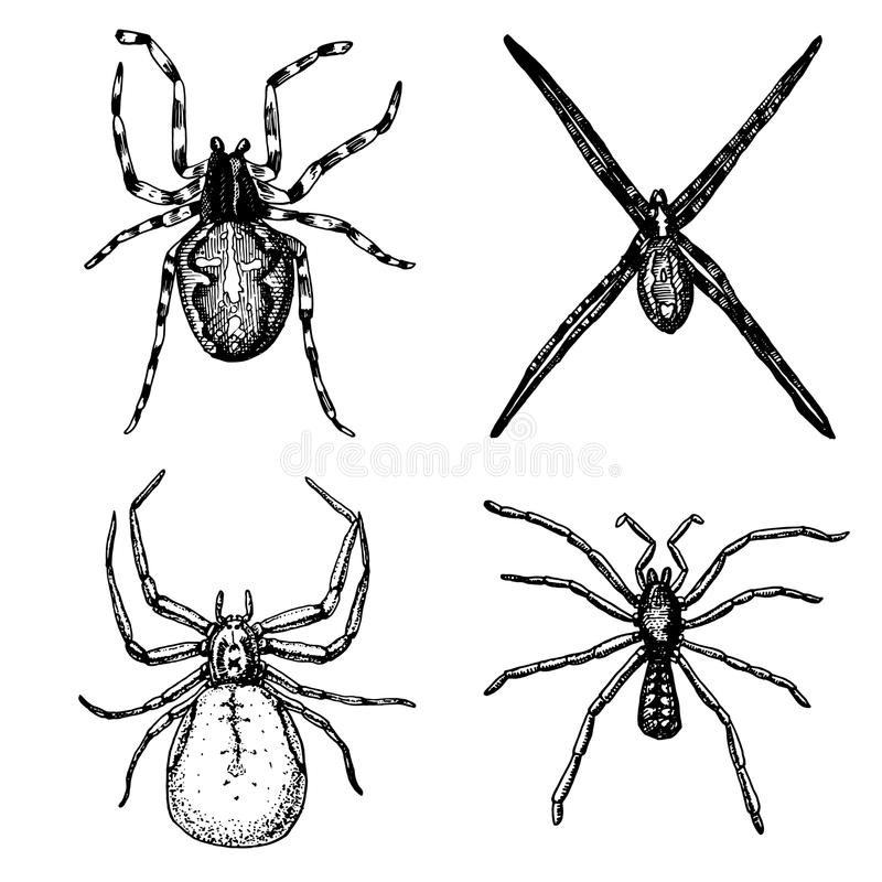 Specie dell'aracnide o del ragno, la maggior parte dei insetti pericolosi nel mondo, vecchia annata per Halloween o progettazione illustrazione vettoriale