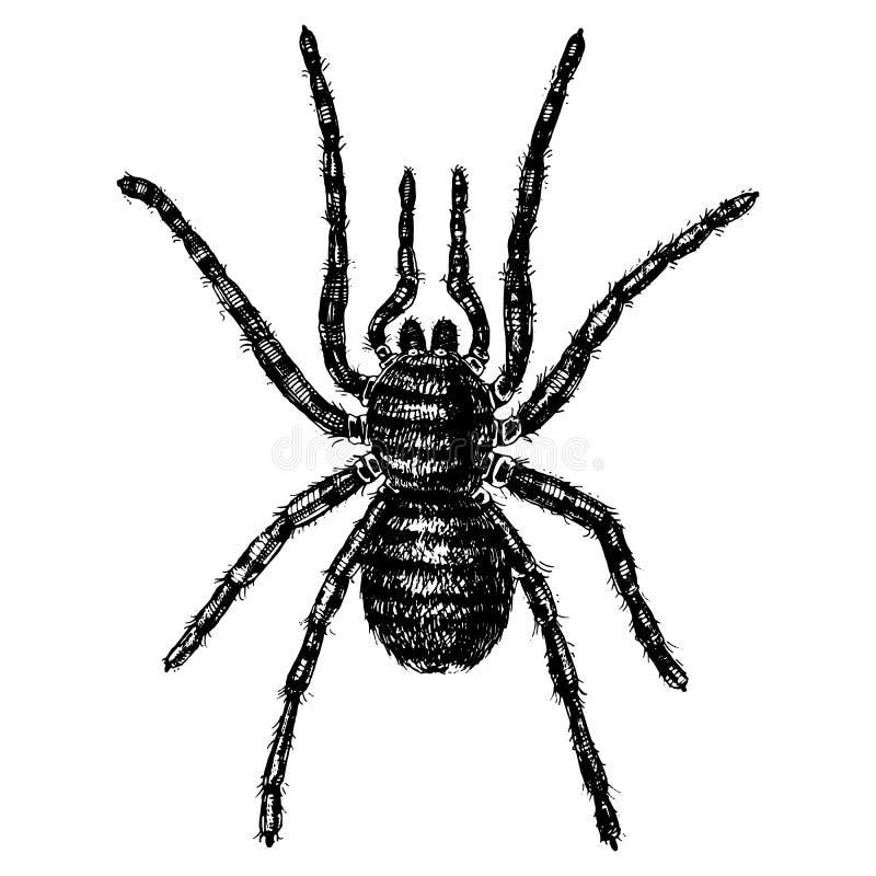 Specie dell'aracnide o del ragno, la maggior parte dei insetti pericolosi nel mondo, vecchia annata per Halloween o progettazione illustrazione di stock