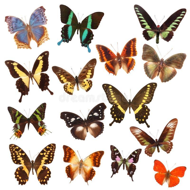 Specie della farfalla   immagini stock