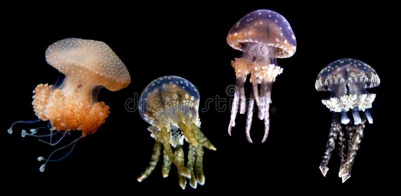 Specie delle meduse sopra fondo nero fotografie stock