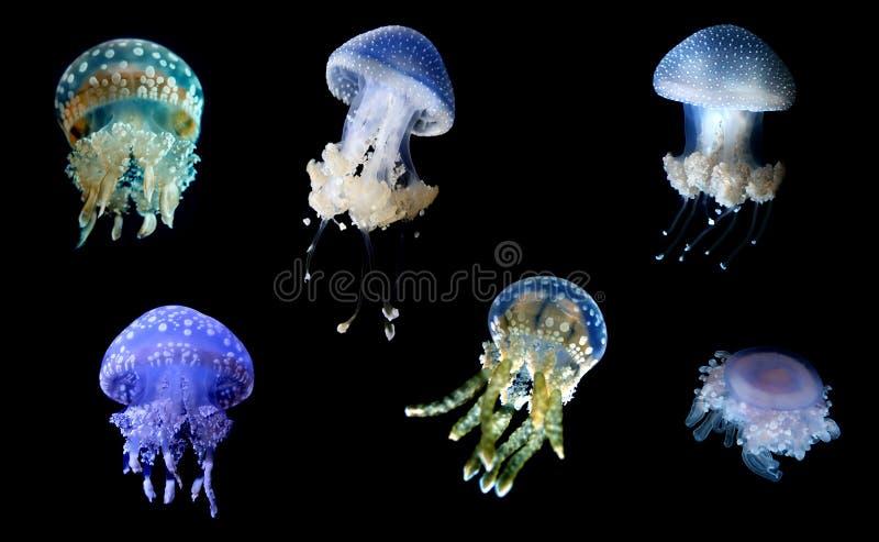 Specie delle meduse sopra fondo nero fotografia stock