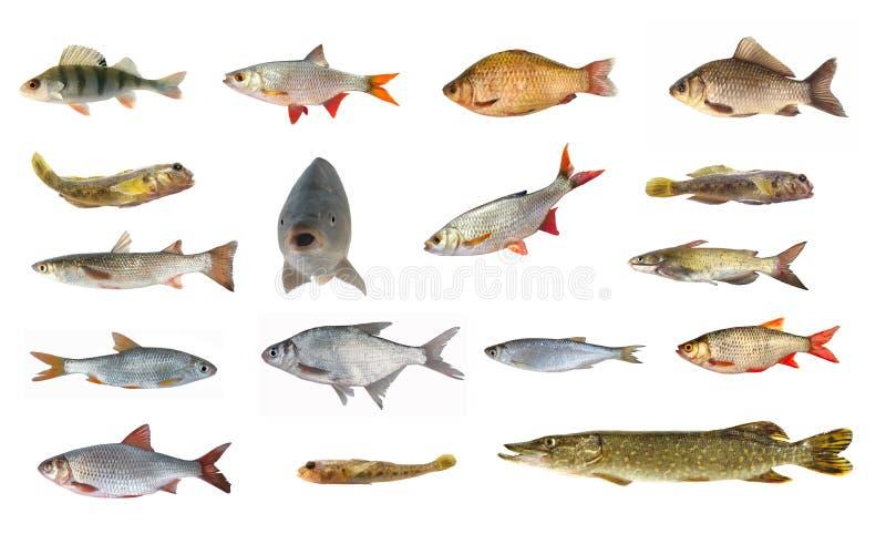 Specie di pesce del fiume immagine stock immagine 35038441 for Pesci di fiume