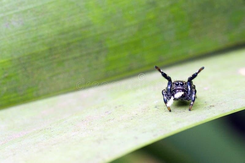 Specie di salto dell'aracnide del ragno di famiglia di Salticidae fotografia stock